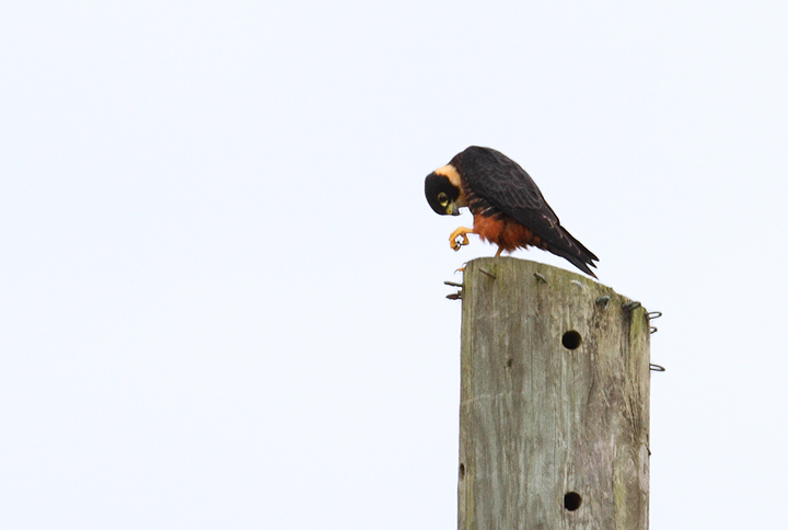A Bat Falcon with avian prey (near Rio Mamoni, Panama, 7/10/2010). Photo by Bill Hubick.