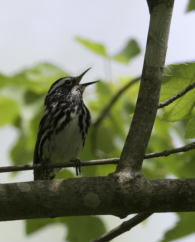 A Black-and-white Warbler sings his favorite song in Somerset Co., Maryland (5/11/2011). Photo by Bill Hubick.
