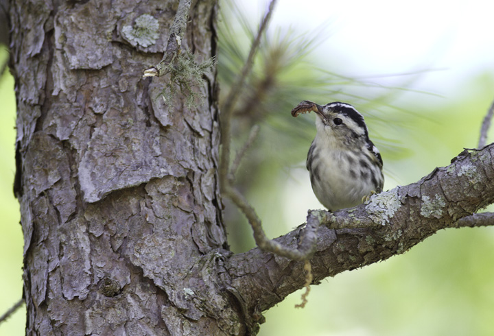 A Black-and-white Warbler with prey in Wicomico Co., Maryland (5/11/2011). Photo by Bill Hubick.