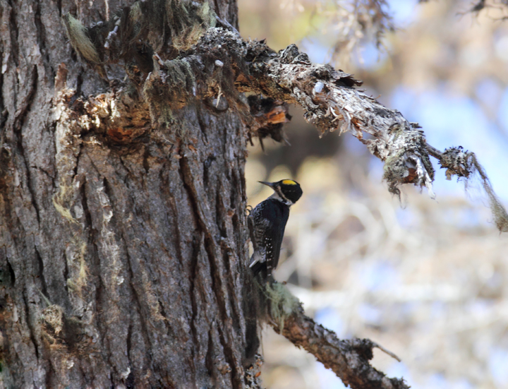 A Black-backed Woodpecker foraging in a burn near Cooper Spur, Mount Hood, Oregon (9/2/2010). Photo by Bill Hubick.