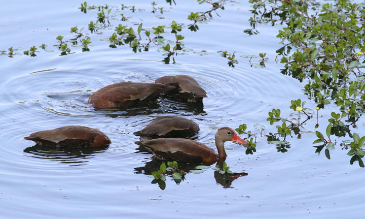 Five Black-bellied Whistling-Ducks in Baltimore Co., Maryland (6/30/2010). Photo by Bill Hubick.
