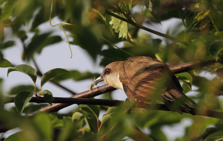A Black-billed Cuckoo found by Dan Small on Chino Farms, Maryland (6/19/2010). Photo by Bill Hubick.