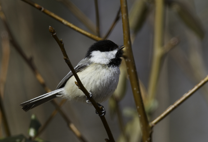 A Black-capped Chickadee in Millington WMA, Kent Co., Maryland (2/20/2011), a continuing bird found by Dan Small. Records from the Eastern Shore of Maryland are extremely rare even during irruption years. Photo by Bill Hubick.