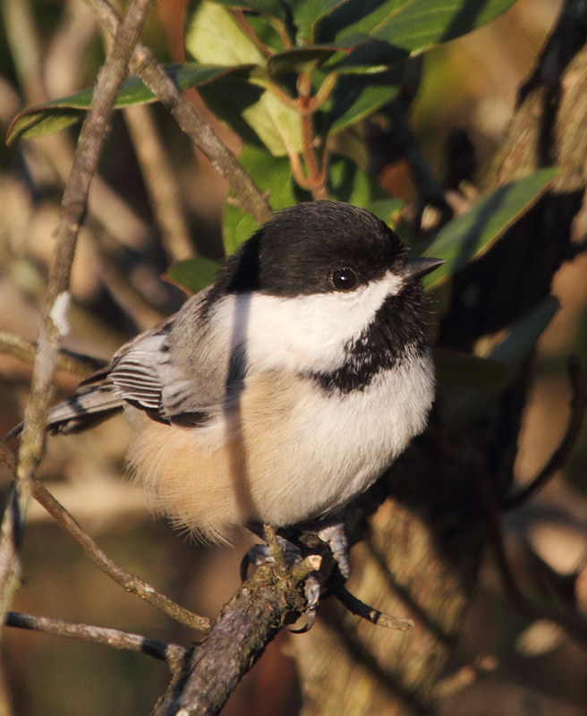 One of three Black-capped Chickadees visiting Blue Mash Nature Trail, Montgomery Co., Maryland (11/1/2010). Photo by Bill Hubick.