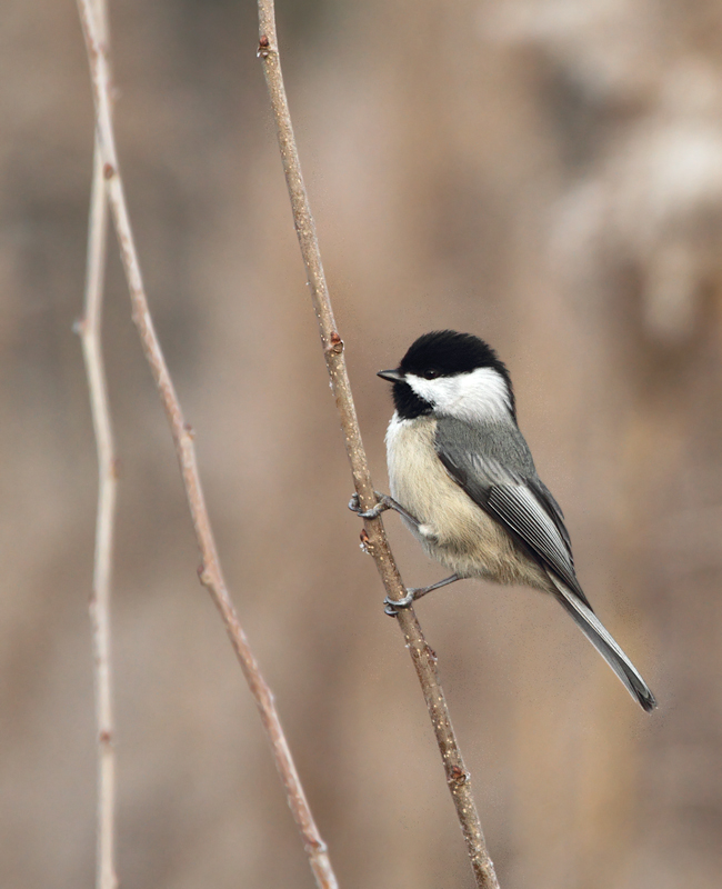 A Black-capped Chickadee in Perryman, southwestern Harford Co., Maryland (12/11/2010). Photo by Bill Hubick.