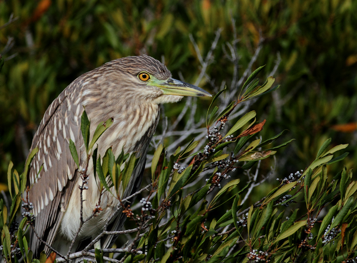 A juvenile Black-crowned Night-heron roosting on Assateague Island, Maryland (10/26/2010). Photo by Bill Hubick.