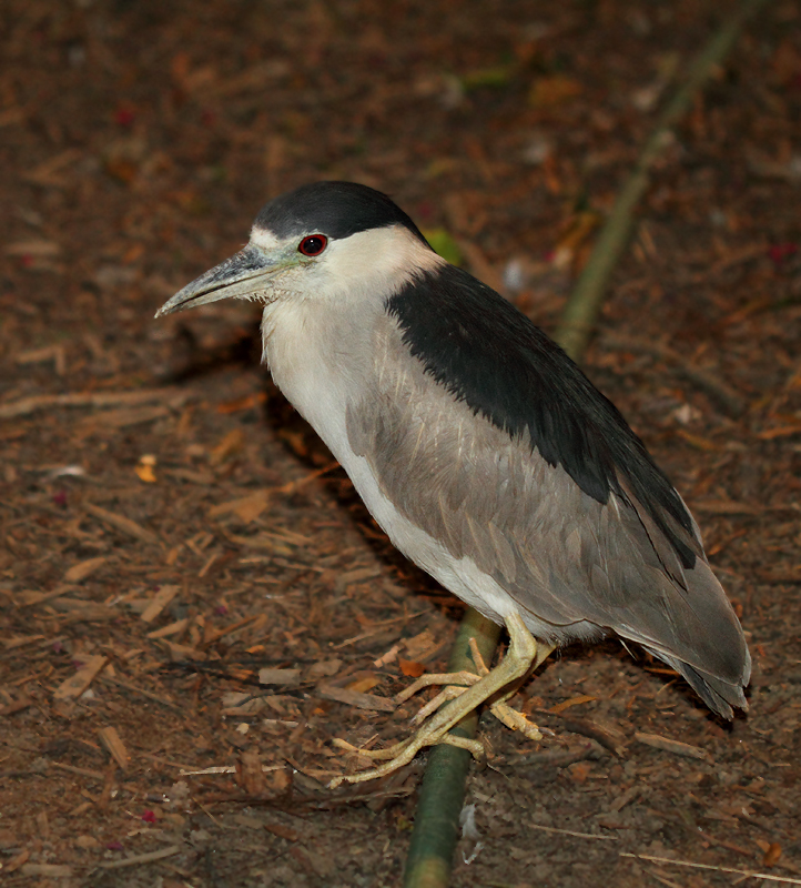 An adult Black-crowned Night-Heron under skilled care in Pasadena, Maryland (9/20/2010). Photo by Bill Hubick.