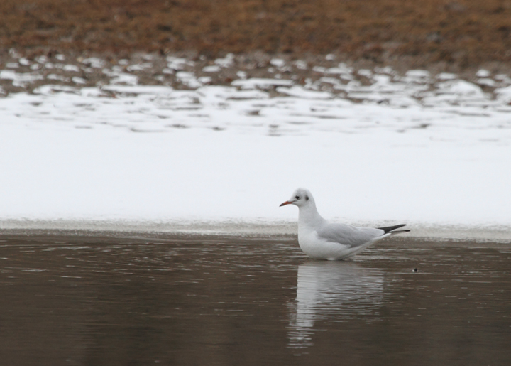 A Black-headed Gull at Paper Mill Flats, Baltimore Co., Maryland (12/11/2010). A great find by Jon Corcoran. Photo by Bill Hubick.
