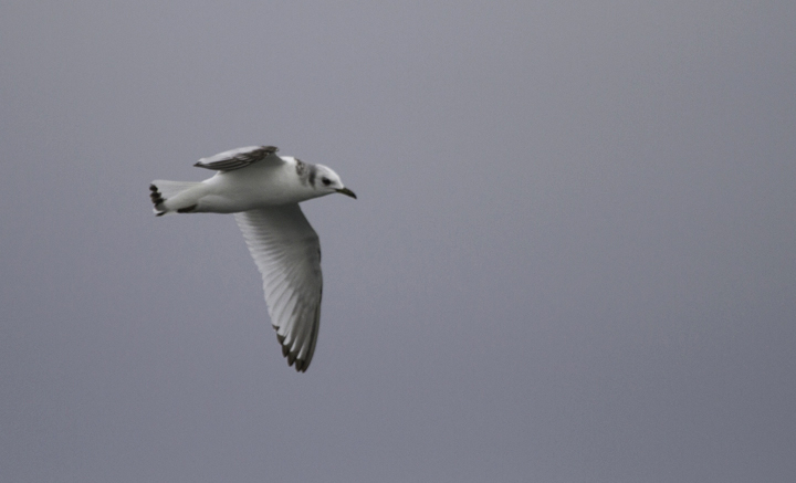 An immature Black-legged Kittiwake zips across our wake in Delaware waters (2/5/2011). Photo by Bill Hubick.