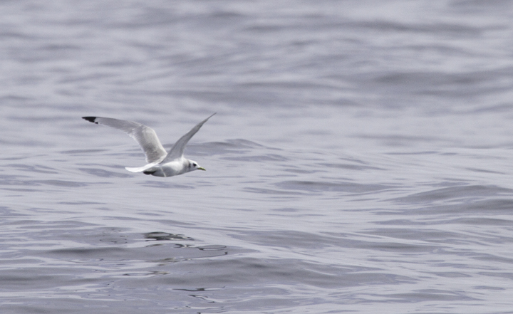 An adult Black-legged Kittiwake off Ocean City, Maryland (2/26/2011). Photo by Bill Hubick.