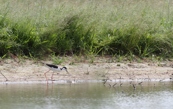 A rare-in-county Black-necked Stilt at Chesapeake Farms, Kent Co., Maryland (5/22/2010). Photo by Bill Hubick.