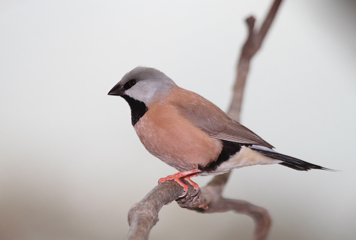 Black-throated Finch - Australia exhibit at the National Aquarium (12/31/2009). Photo by Bill Hubick.