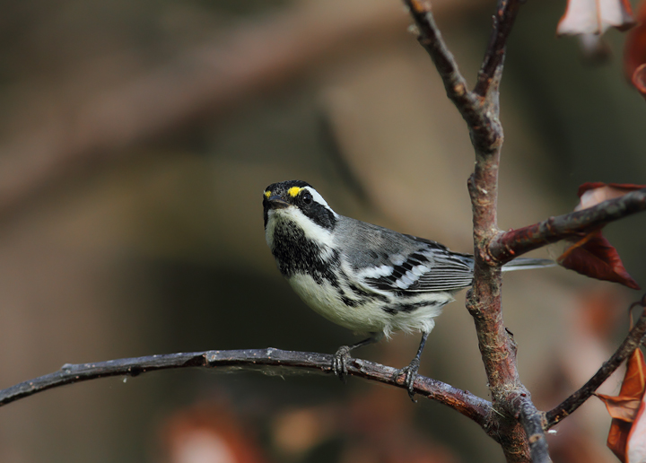 Black-throated Gray Warblers near Portland, Oregon (9/2/2010). Photo by Bill Hubick.