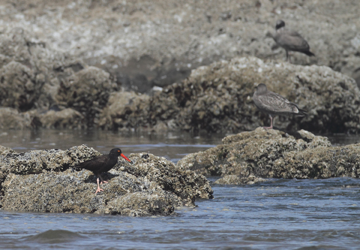 A Black Oystercatcher foraging near Haystack Rock, Oregon (9/3/2010). Photo by Bill Hubick.