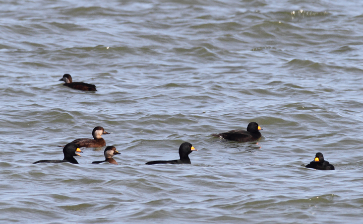 "A flock of about 180 Black Scoters partying at the Point Lookout Causeway today (12/6/2009). We spent a long time scanning the Bay, enjoying their strange, nasal ""Waaaaa"" calls."