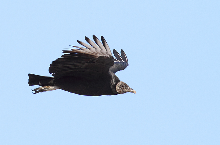 A Black Vulture in flight over Charles Co., Maryland (12/18/2010). Photo by Bill Hubick.