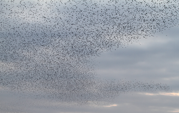 An immense flock of blackbirds over Jug Bay, Maryland (11/21/2009).