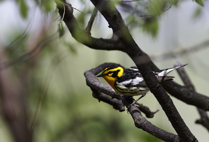 A male Blackburnian Warbler in Green Ridge SF, Maryland (4/30/2011). Photo by Bill Hubick.