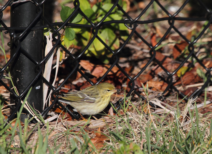 A lingering, especially confiding Blackpoll Warbler at Fort Smallwood, Maryland (10/15/2010). Photo by Bill Hubick.
