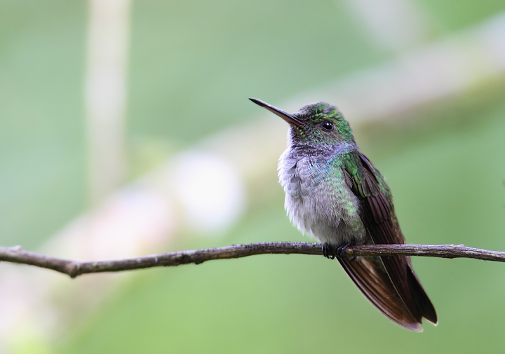Blue-chested Hummingbird - Rainforest Discovery Center, Panama (July 2010). Photo by Bill Hubick.