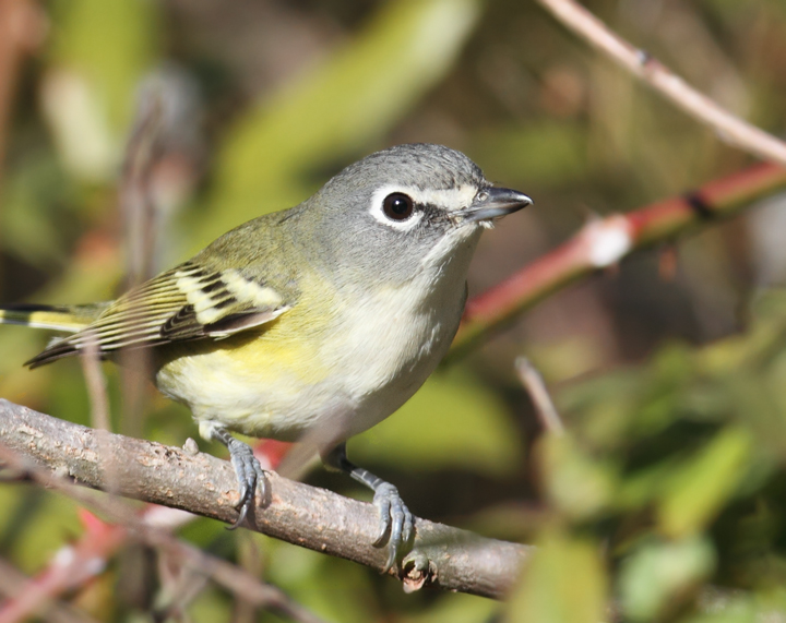 A late Blue-headed Vireo at Point Lookout, Maryland (11/20/2010). Photo by Bill Hubick.