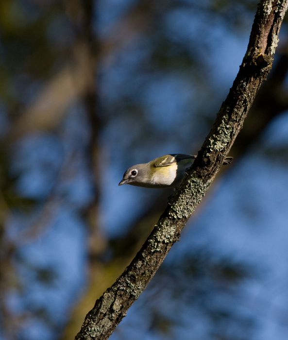 A migrant Blue-headed Vireo at Blairs Valley, Washington Co., Maryland (10/3/2009).