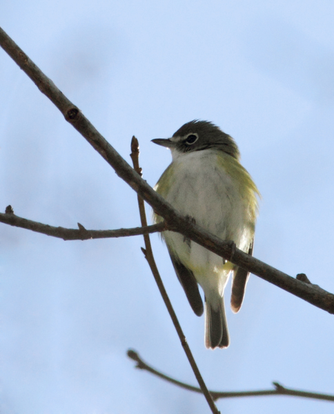 A wintering Blue-headed Vireo in eastern Wicomico Co., Maryland (1/31/2010). A great find by Ron Gutberlet, this probably represents one of the latest winter records in the state. Photo by Bill Hubick.