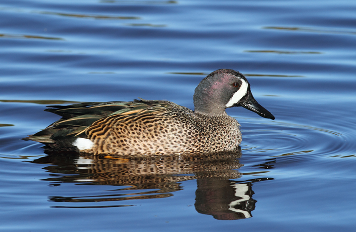 Blue-winged Teal at Green Cay Wetlands, Florida (2/26/2010). Photo by Bill Hubick.