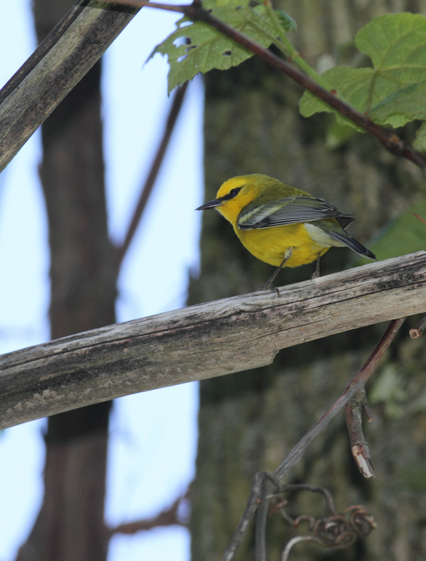 "A seemingly more ""pure"" Blue-winged Warbler in Washington Co., Maryland (5/5/2010). Photo by Bill Hubick."