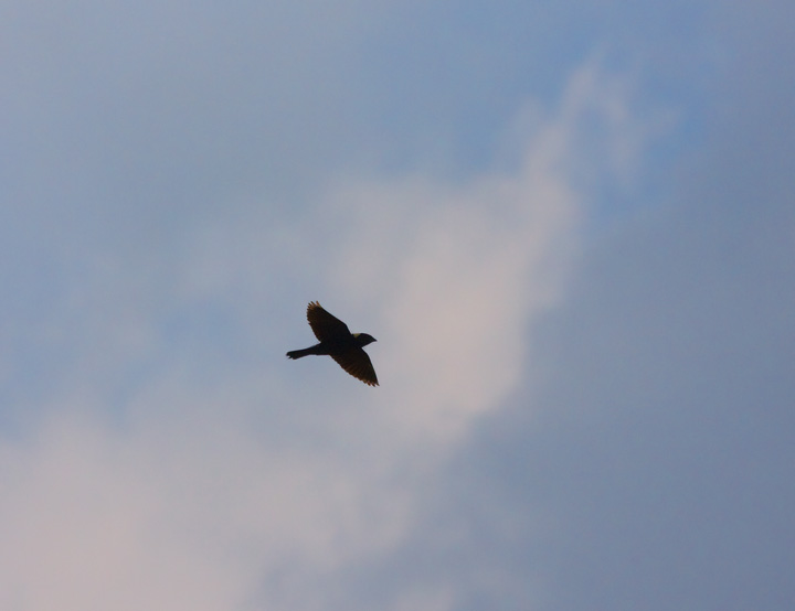 Bobolink in flight