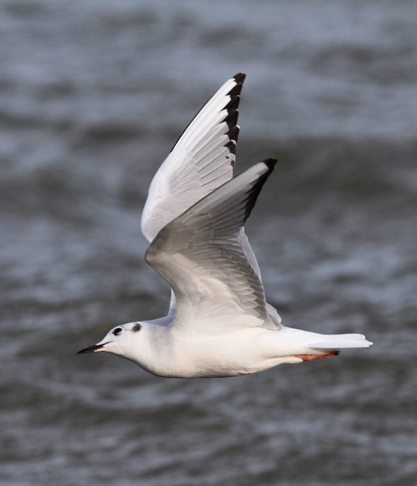 A Bonaparte's Gull feeding along the sea wall at Fort Smallwood, Maryland (1/3/2010). Photo by Bill Hubick.