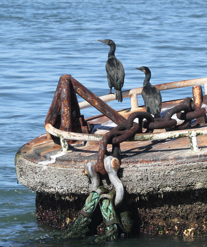 Brandt's Cormorants roosting around San Francisco Bay, California (9/24/2010). Photo by Bill Hubick.