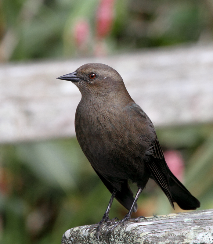 Juvenile Brewer's Blackbird at Lake Merced, California (9/26/2010). Note the reddish brown iris. Photo by Bill Hubick.