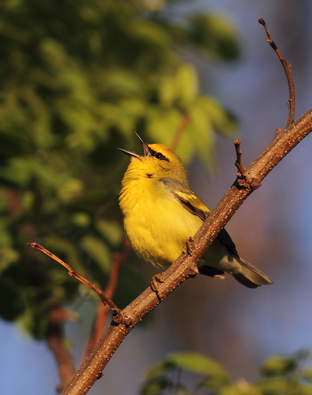 "A ""Brewster's""-type Golden-winged x Blue-winged Warbler hybrid in Washington Co., Maryland (5/5/2010). Although not exactly a ""Brewster's"" per se, note the bold yellow wingbars on this individual, making its Golden-winged Warbler genes quite evident. Photo by Bill Hubick."