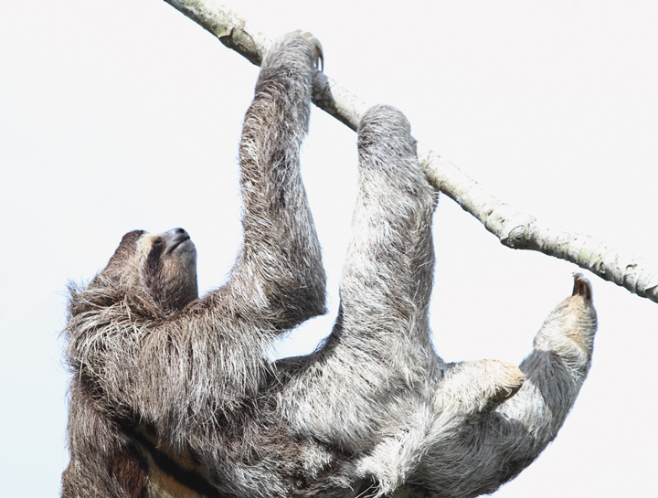 A Brown-throated Three-toed Sloth lounging around at Canopy Tower, Panama (July 2010). Photo by Bill Hubick.