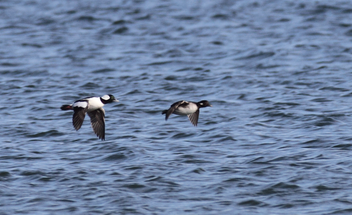 A pair of Bufflehead in flight at Point Lookout, Maryland (11/20/2010). Photo by Bill Hubick.