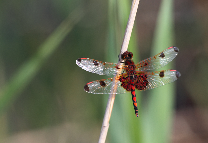 A Calico Pennant in Charles Co., Maryland (6/6/2010). Photo by Bill Hubick.