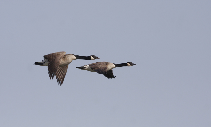 I dug through the archives a bit while my Internet was out - Canada Geese in flight while kayaking near Fort Smallwood, Maryland (4/4/2010). Photo by Bill Hubick.