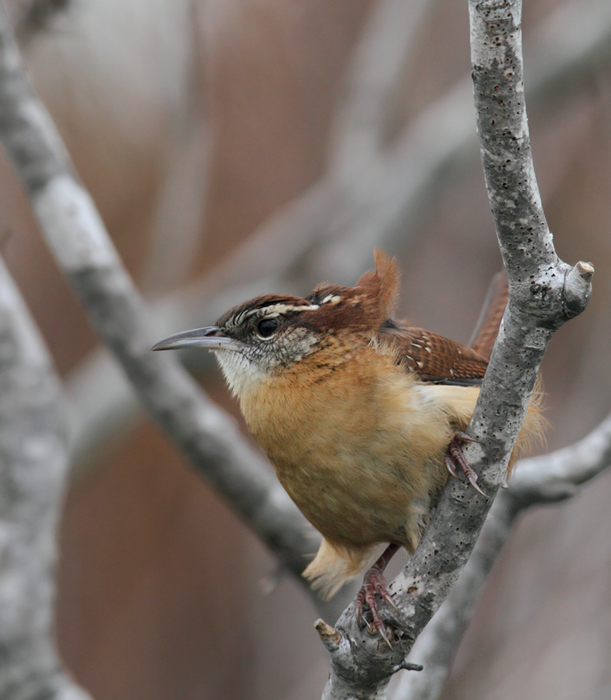 A Carolina Wren protests our presence on windy Assateague Island, Maryland (10/26/2010). Photo by Bill Hubick.