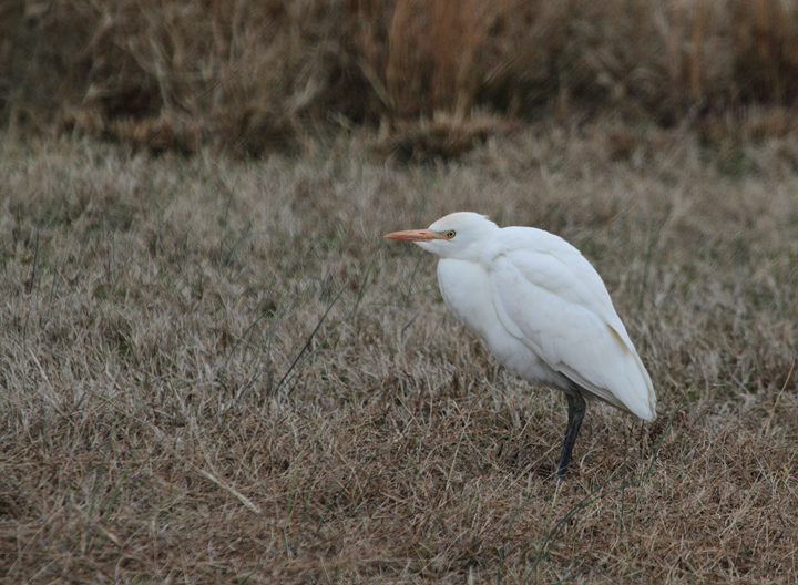 A late Cattle Egret across from the visitor center at Assateague Island, Maryland (12/5/2010). Rare even on the Rarity Roundup in mid-November, this was a new December species for everyone present this weekend. Photo by Bill Hubick.