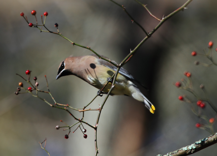 A Cedar Waxwing feeding on berries in western Cecil Co., Maryland (11/7/2010). Photo by Bill Hubick.