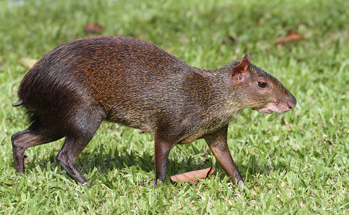 A personal favorite mammal, the Central American Agouti - Gamboa, Panama (July 2010). Photo by Bill Hubick.