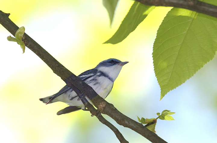 A beautiful male Cerulean Warbler in Frederick Co., Maryland (5/5/2010). Photo by Bill Hubick.