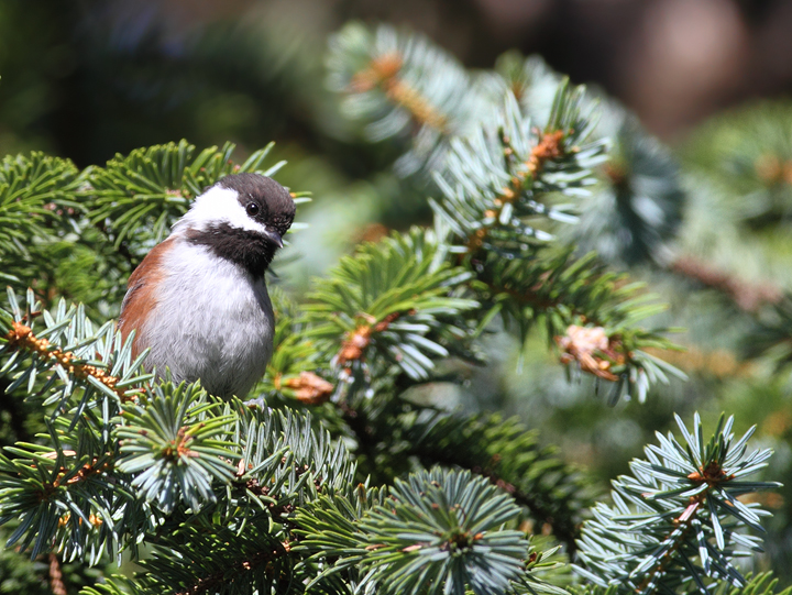 Chestnut-backed Chickadees foraging near the beach at Ecola State Park, Oregon (9/3/2010). Photo by Bill Hubick.
