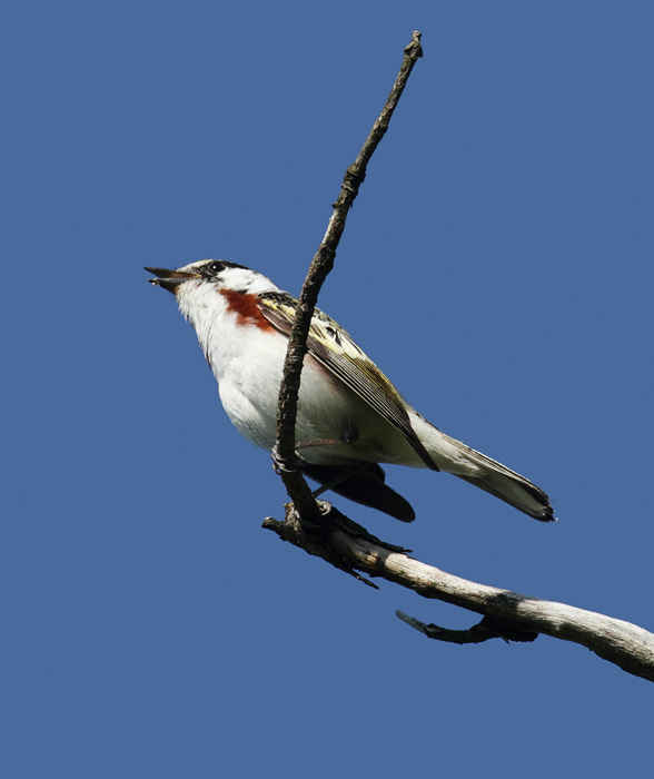 A Chestnut-sided Warbler singing on territory in Garrett Co., Maryland (5/30/2010). Photo by Bill Hubick.