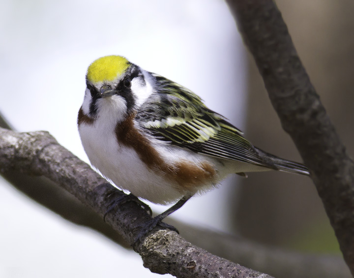 A stunning adult male Chestnut-sided Warbler in Green Ridge State Forest, Maryland (4/30/2011). Photo by Bill Hubick.