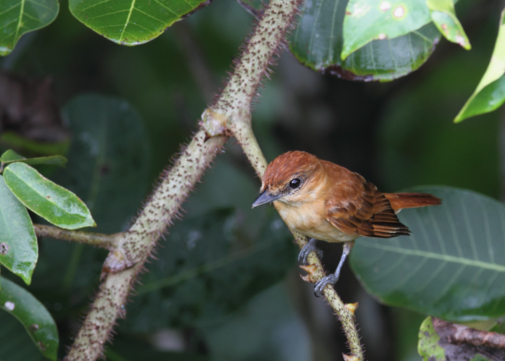 A Cinnamon Becard in central Panama (July 2010). Photo by Bill Hubick.