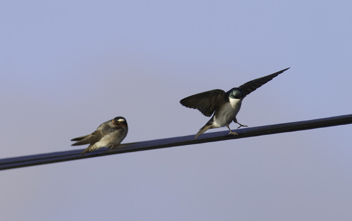 A comparison of Cliff Swallow (left) and Tree Swallow (right) - Garrett Co., Maryland (4/30/2011). Photo by Bill Hubick.
