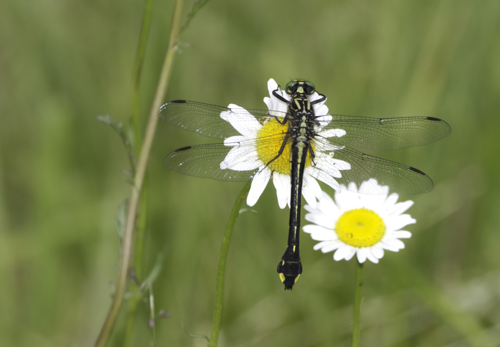 A Cobra Clubtail in Washington Co., Maryland (6/4/2011, in situ). Photo by Bill Hubick.