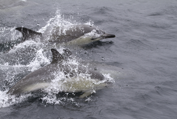 Common Dolphins cruising alongside our boat (2/5/2011). Photo by Bill Hubick.